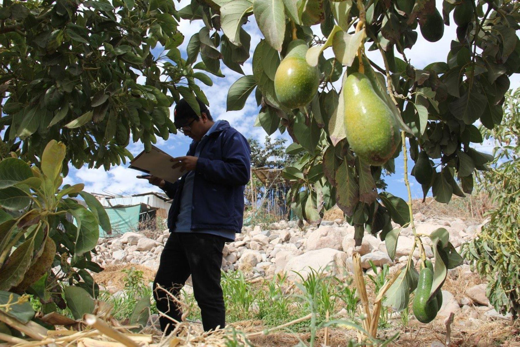 El Instituto Nacional de Investigación y Capacitación de Telecomunicaciones de la Universidad Nacional de Ingeniería (Inictel-UNI) desarrolló un sistema que monitorea las variables que influyen en la producción de palta tipo Hass en la región Moquegua y detecta plagas u otros problemas que afectan a este cultivo peruano de exportación.