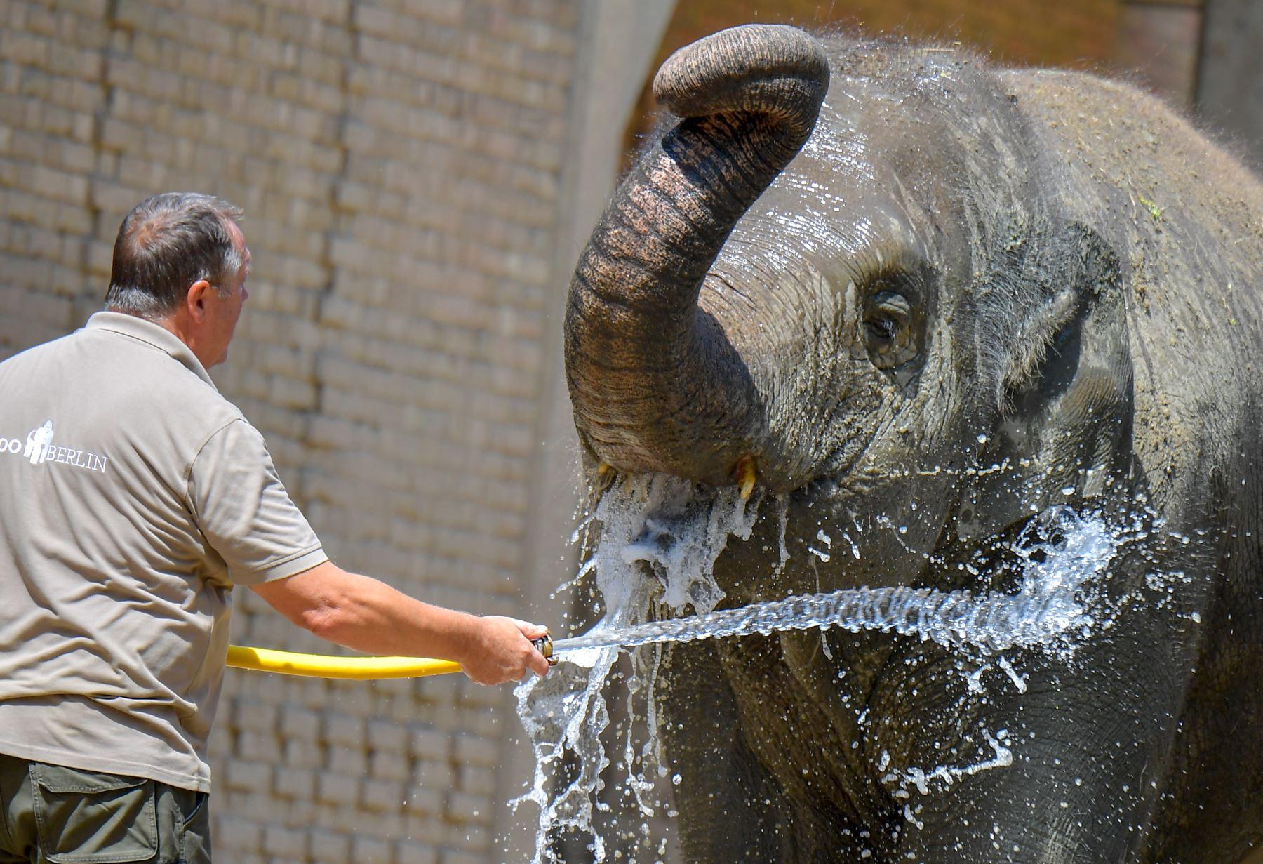 Un guardián del zoológico derrama agua sobre elefantes asiáticos en el zoológico de Berlín, para refrescarlos a medida que las temperaturas en la capital alcanzan los 33 grados. Foto: AFP