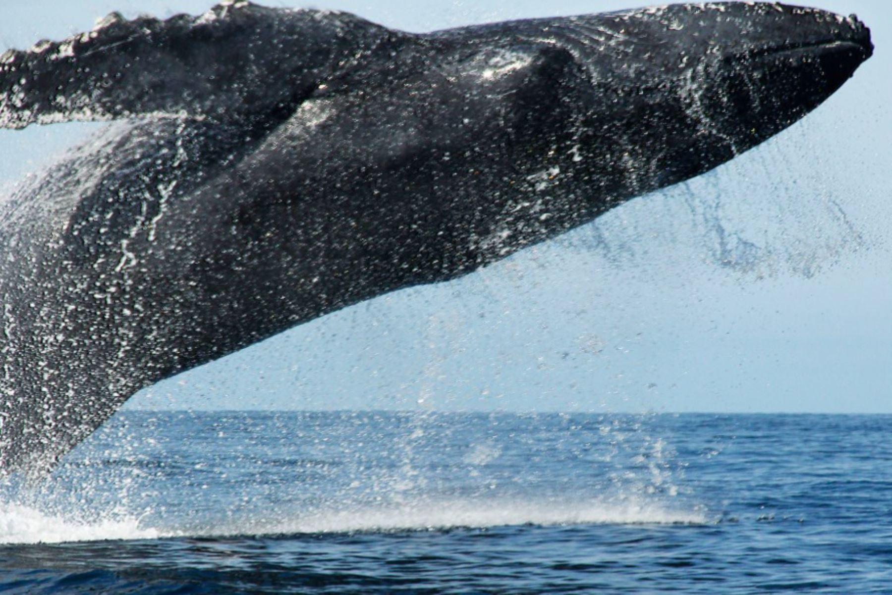 Avistamiento de ballenas: temporada empieza este mes y continúa hasta octubre