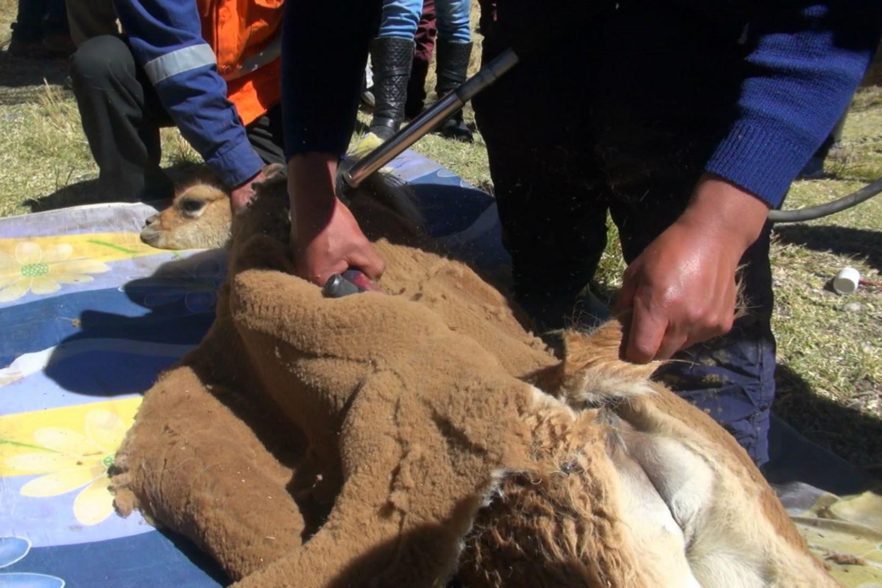 Obtienen más de 25 kg. de fibra de vicuña en Chaccu Ecoturístico Marancocha-Aychana