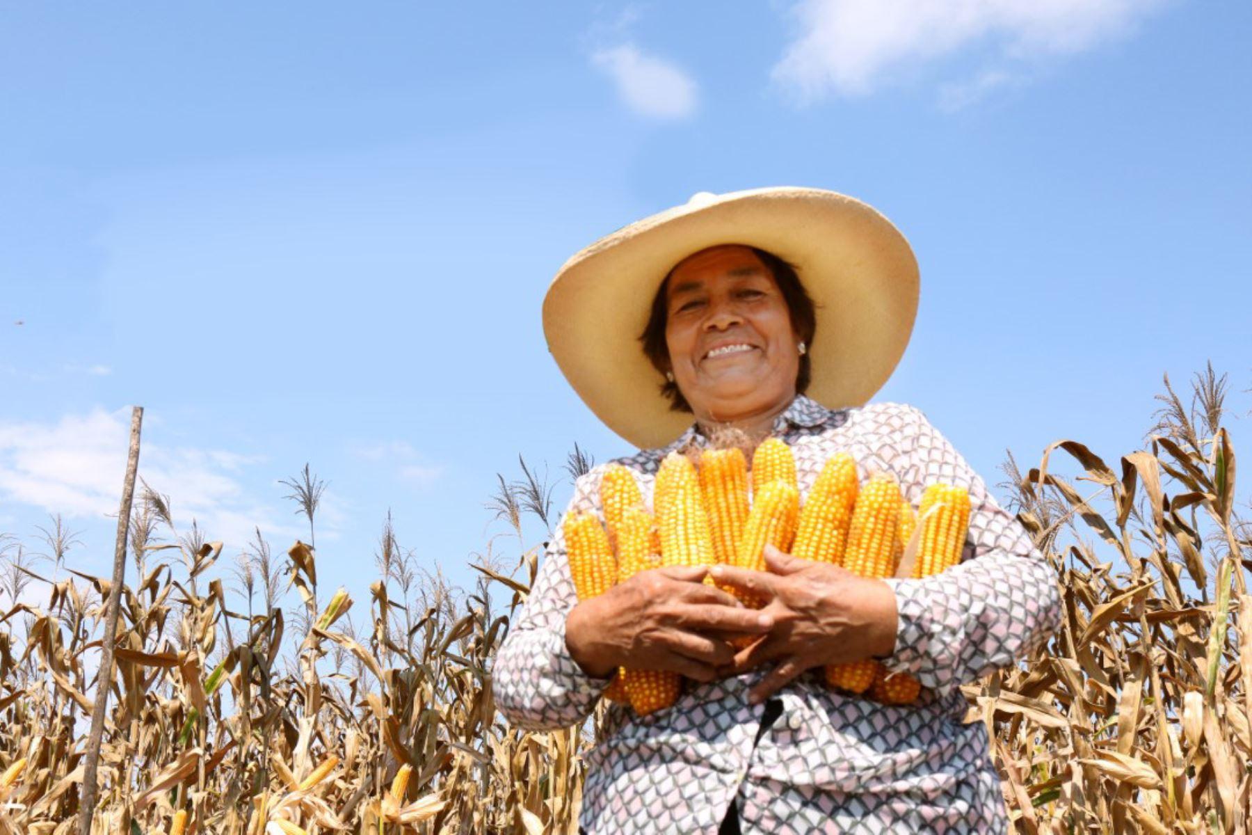 Agricultores norteños incrementan producción de maíz amarillo con semilla del INIA