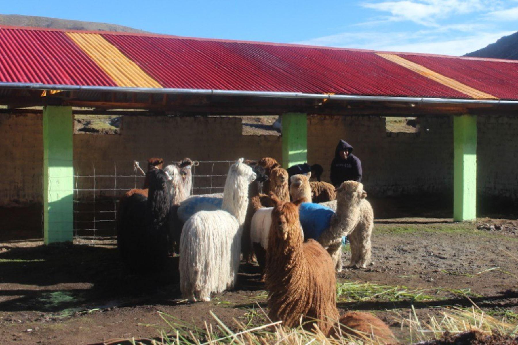 Minagri incrementará cobertizos en regiones para proteger ganado de las heladas