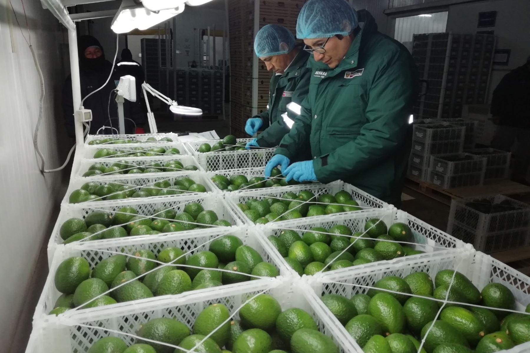En lo que va del año, el Senasa Arequipa ha certificado 1,800 toneladas de palta que han accedido a mercados como Holanda, Estados Unidos, España y Chile.