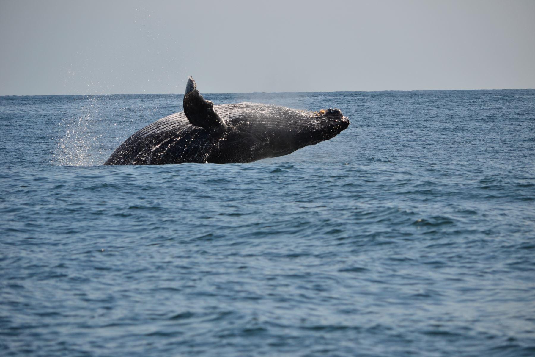 Piura y Tumbes se unen para convertirse en lugares ideales para el avistamiento de ballenas. La temporada alta ya empezó y se prolongará hasta fines de octubre. ANDINA/Difusión