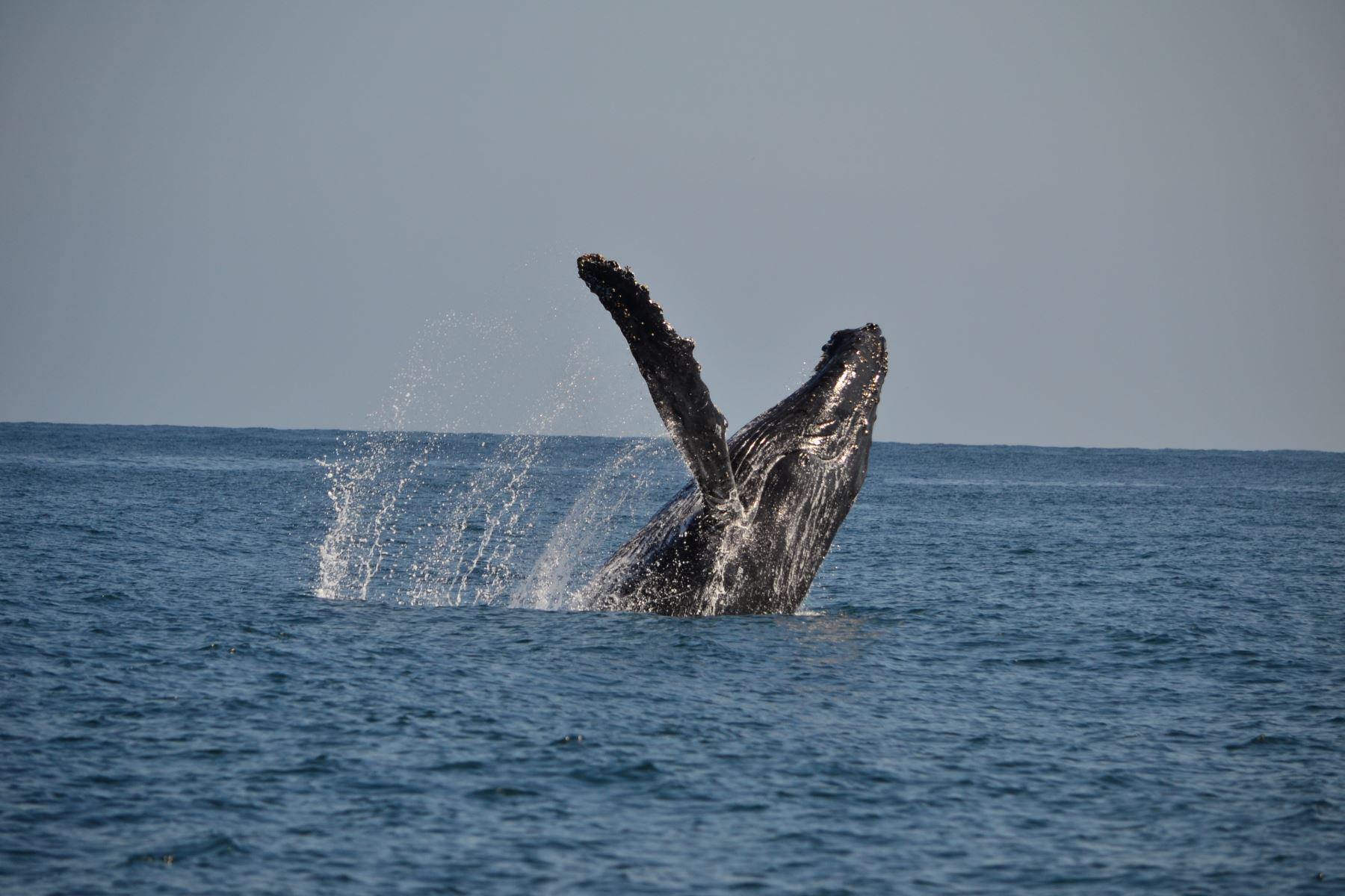 Las costas del distrito de Canoas de Punta Sal son ideales, de julio a octubre, para avistar tanto ballenas como tiburones ballena. Este último, un inofensivo animal, considerado el más grande del planeta. Tumbes tiene por meta convertirse en principal destino turístico del norte del país.Foto: ANDINA/Difusión