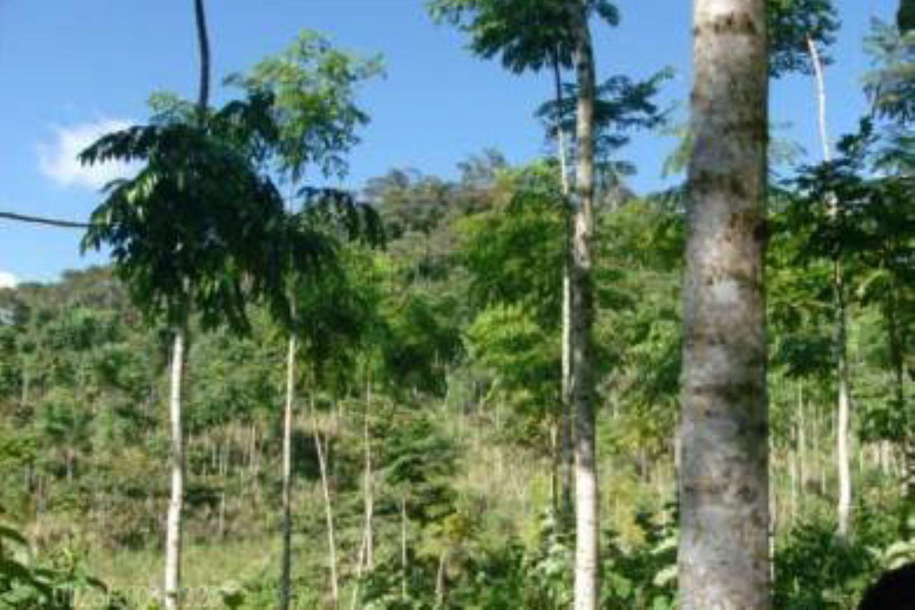Perú fortalecerá sus acciones de control para la comercialización del cedro, anuncia el Ministerio del Ambiente. ANDINA/Difusión