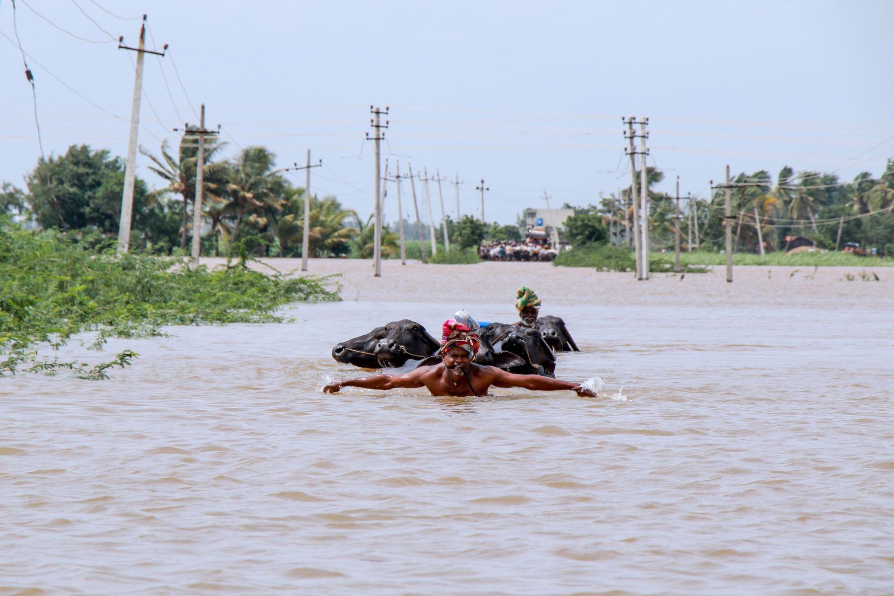 Un agricultor ayuda a su ganado a cruzar las aguas de la inundación  en el distrito de Belgaum, India. AFP