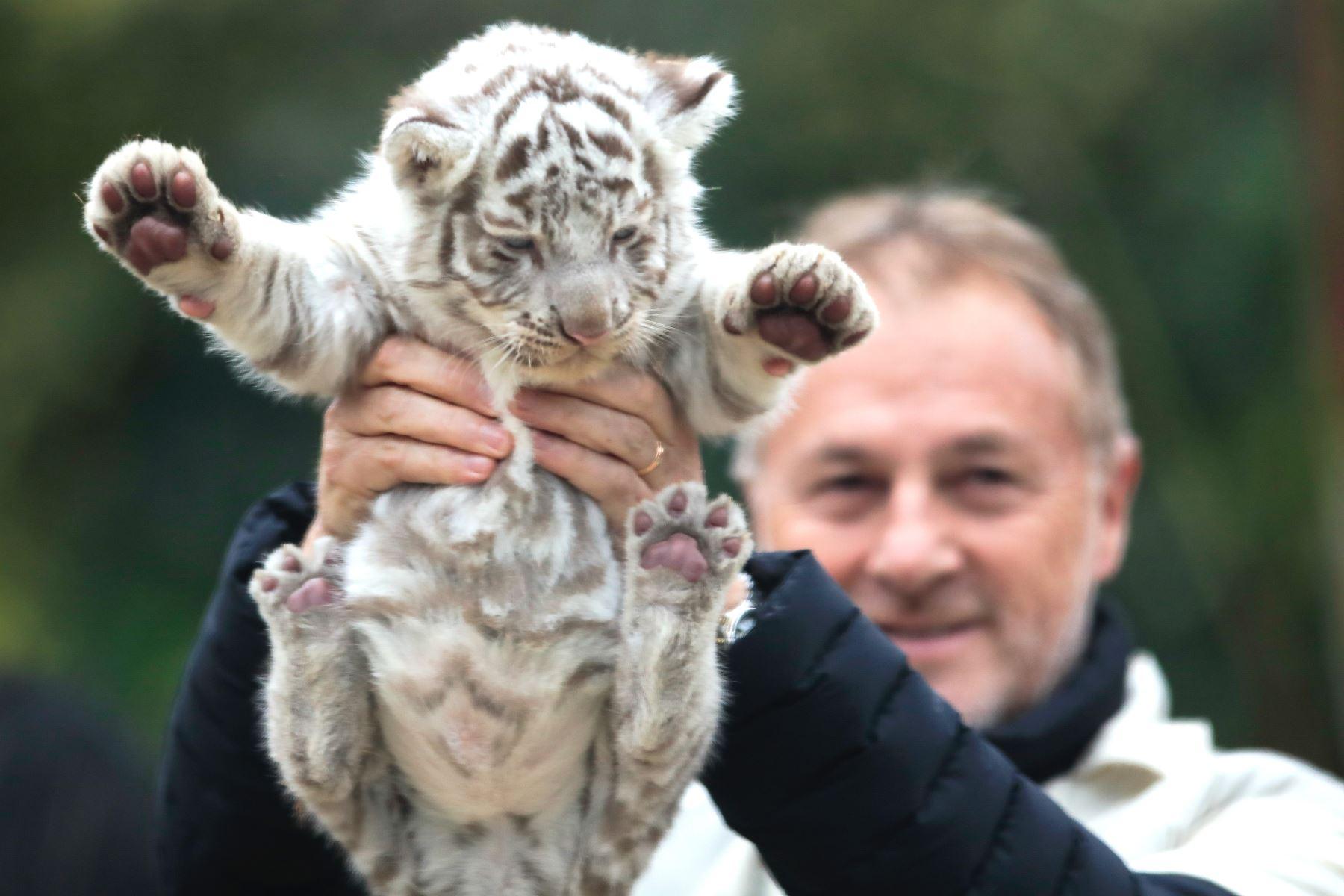 """El alcalde de Lima muestra a la tigresa de Bengala """"Lima"""". Foto: ANDINA/Juan Carlos Guzmán"""