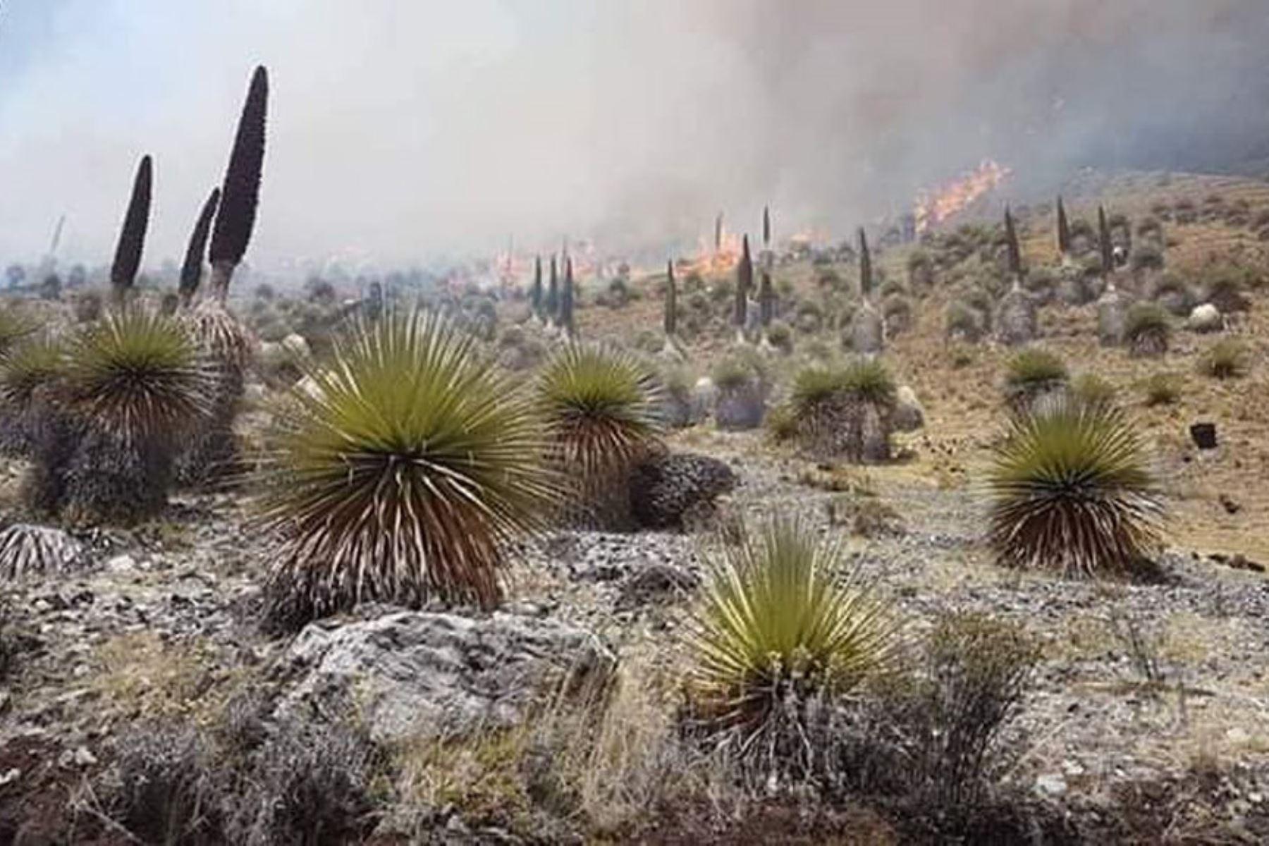 Incendio forestal afecta bosque de puyas del distrito de Aquia, provincia de Bolognesi, informó el Centro de Operaciones de Emergencia Regional Áncash.