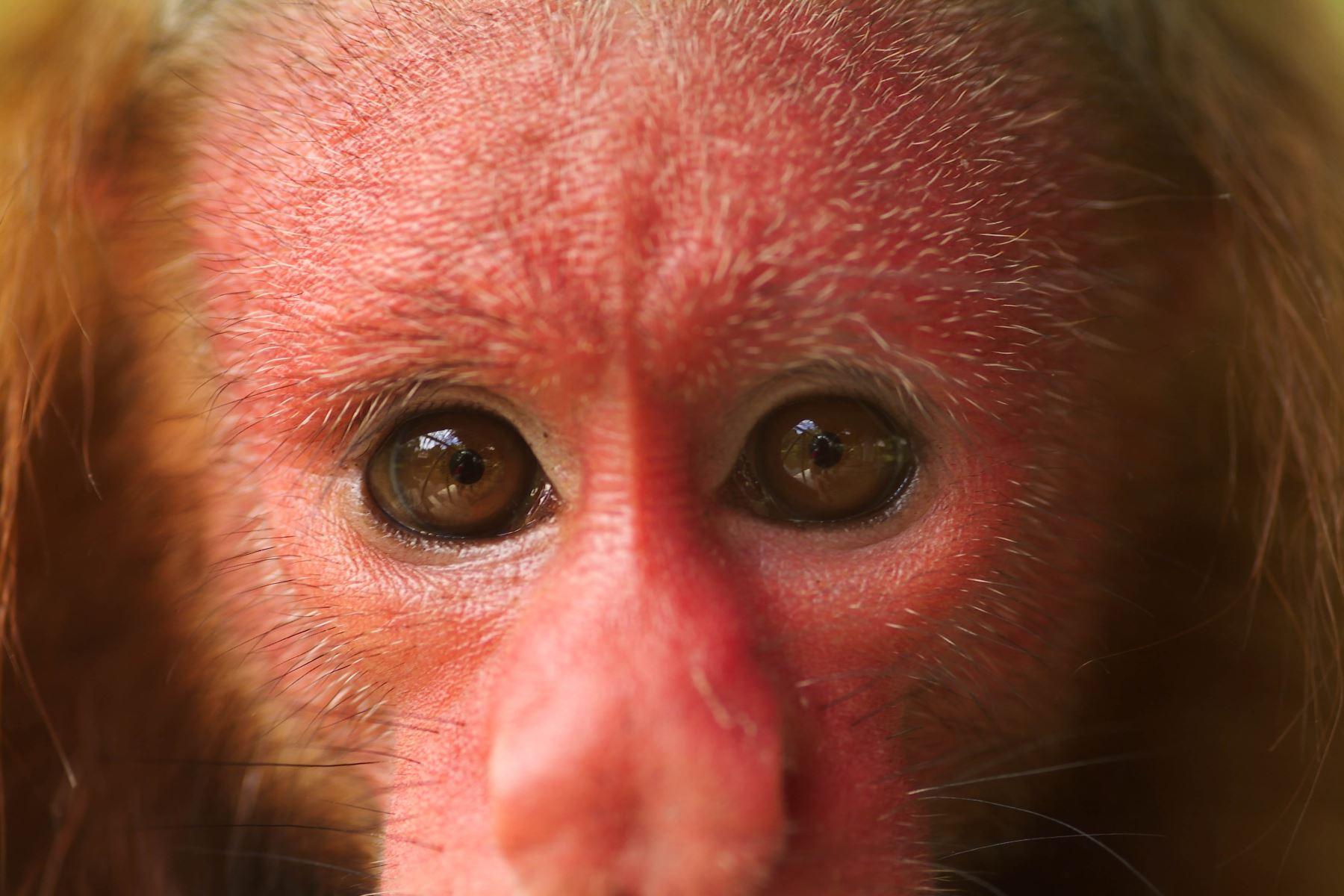 Plan Nacional de Conservación de Primates impulsa protección de 47 especies en Perú. Foto: Cortesía