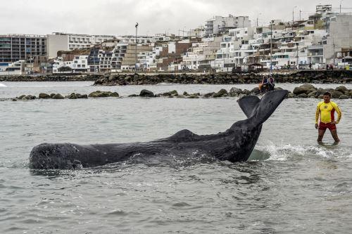 Cachalote varado es rescatado en playa de San Bartolo