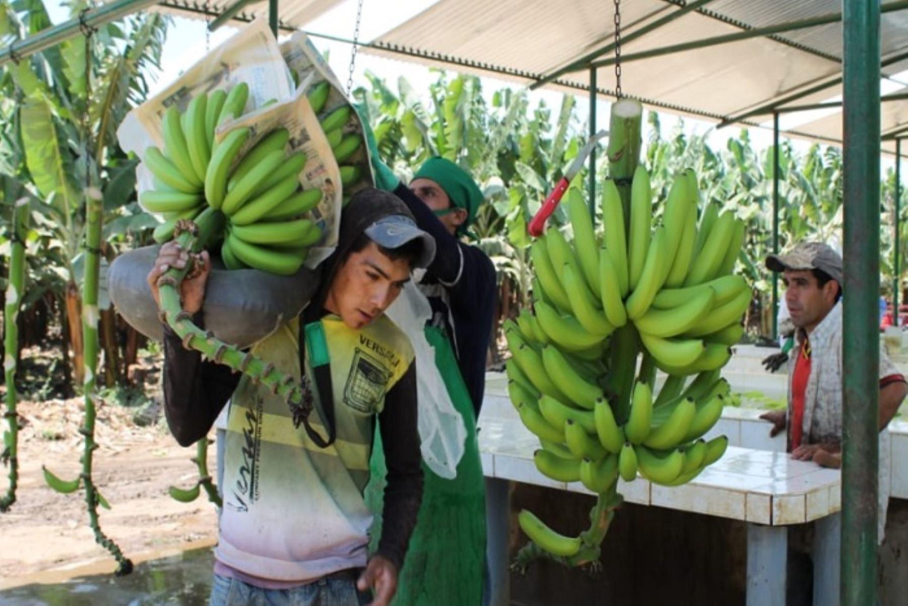 El VII Congreso Internacional del Banano Orgánico (CIBAN) a desarrollarse en Piura los días 21 y 22 de noviembre próximo, organizado por la Mesa Técnica Regional de esta fruta, prevé reunir a más de 9, 500 pequeños productores y contará con la participación de expositores nacionales y provenientes de Brasil, Holanda, Francia, Israel, Colombia y Ecuador.