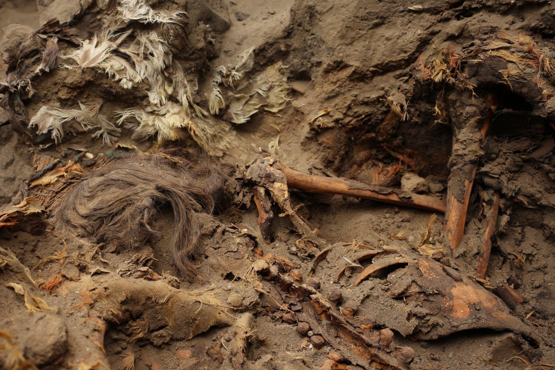 Arqueólogos hallan entierro con tocado y tabardo hechos con plumas de aves exóticas en zona Pampa La Cruz, en Huanchaco, Trujillo. Foto: Luis Puell