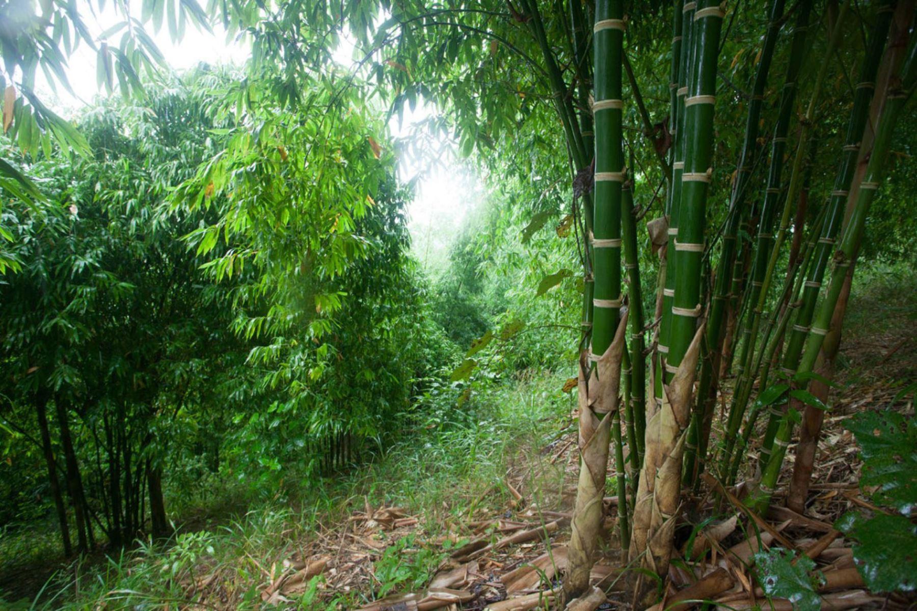 """El bambú será protagonista de actividades para promocionar su uso en la """"Semana del Bambú Selva Central 2019""""."""