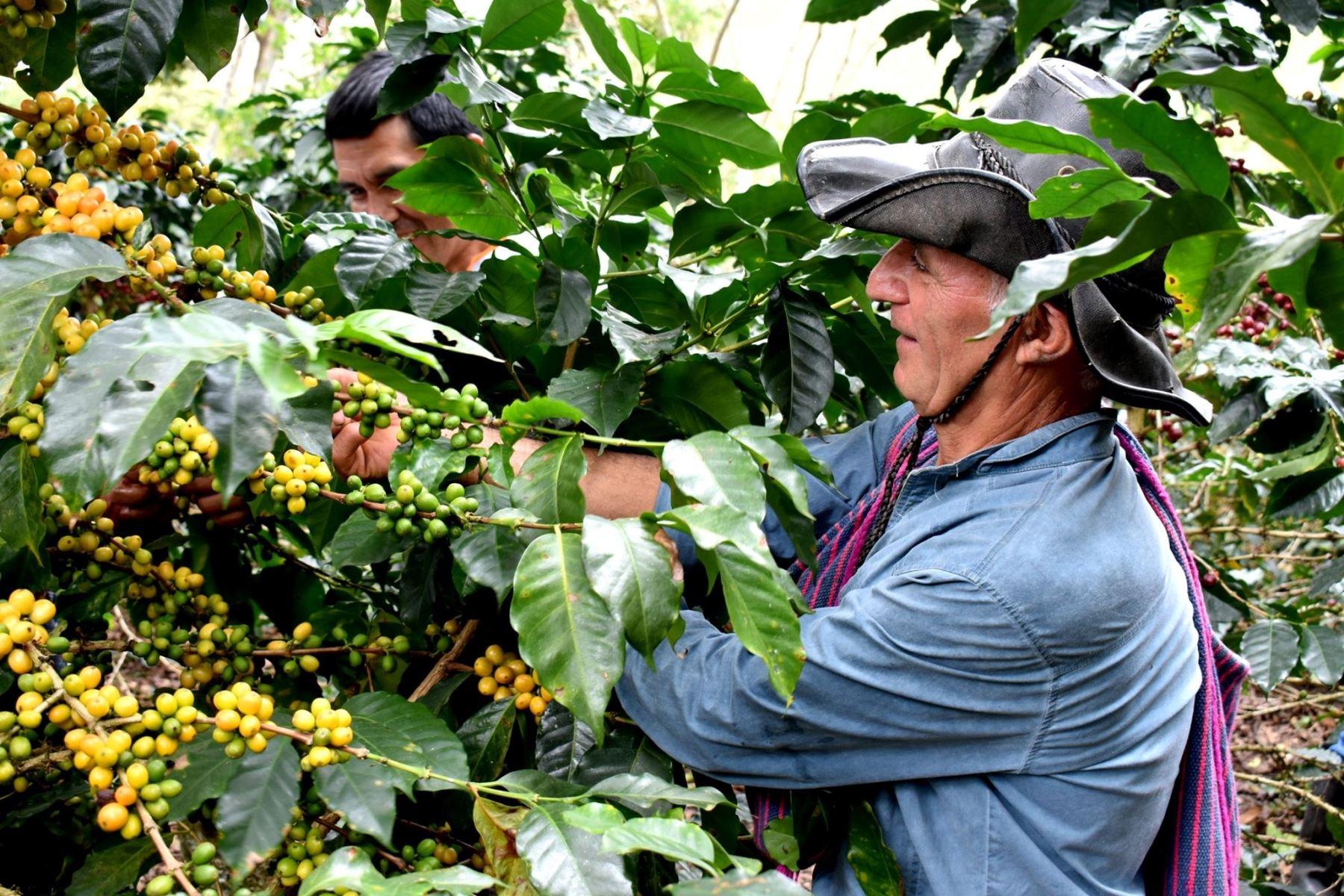 El café orgánico que se produce en la región Amazonas se exporta al mercado de Corea del Sur.