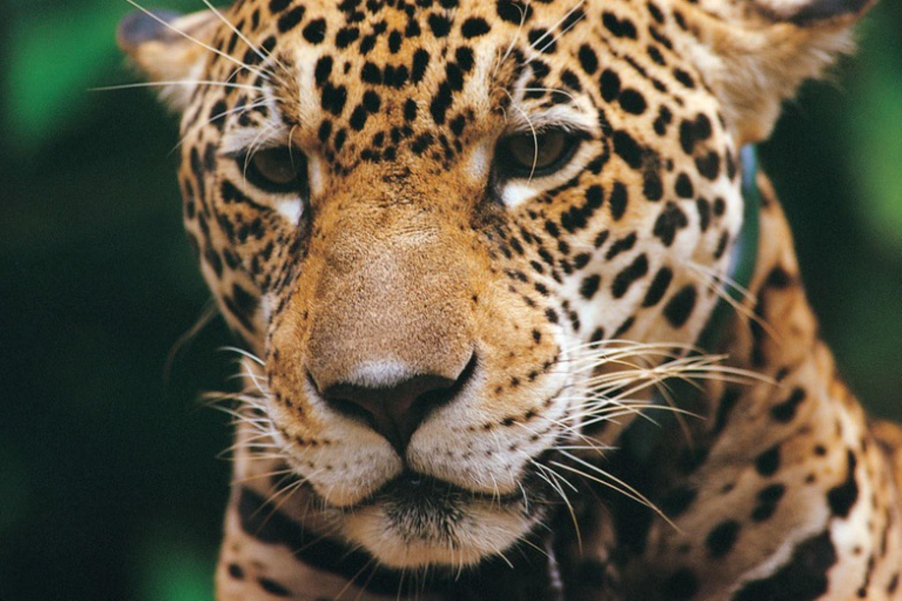 Plan de Conservación del Jaguar estará listo el año 2020, anunció el Sernanp. Foto: Sernanp