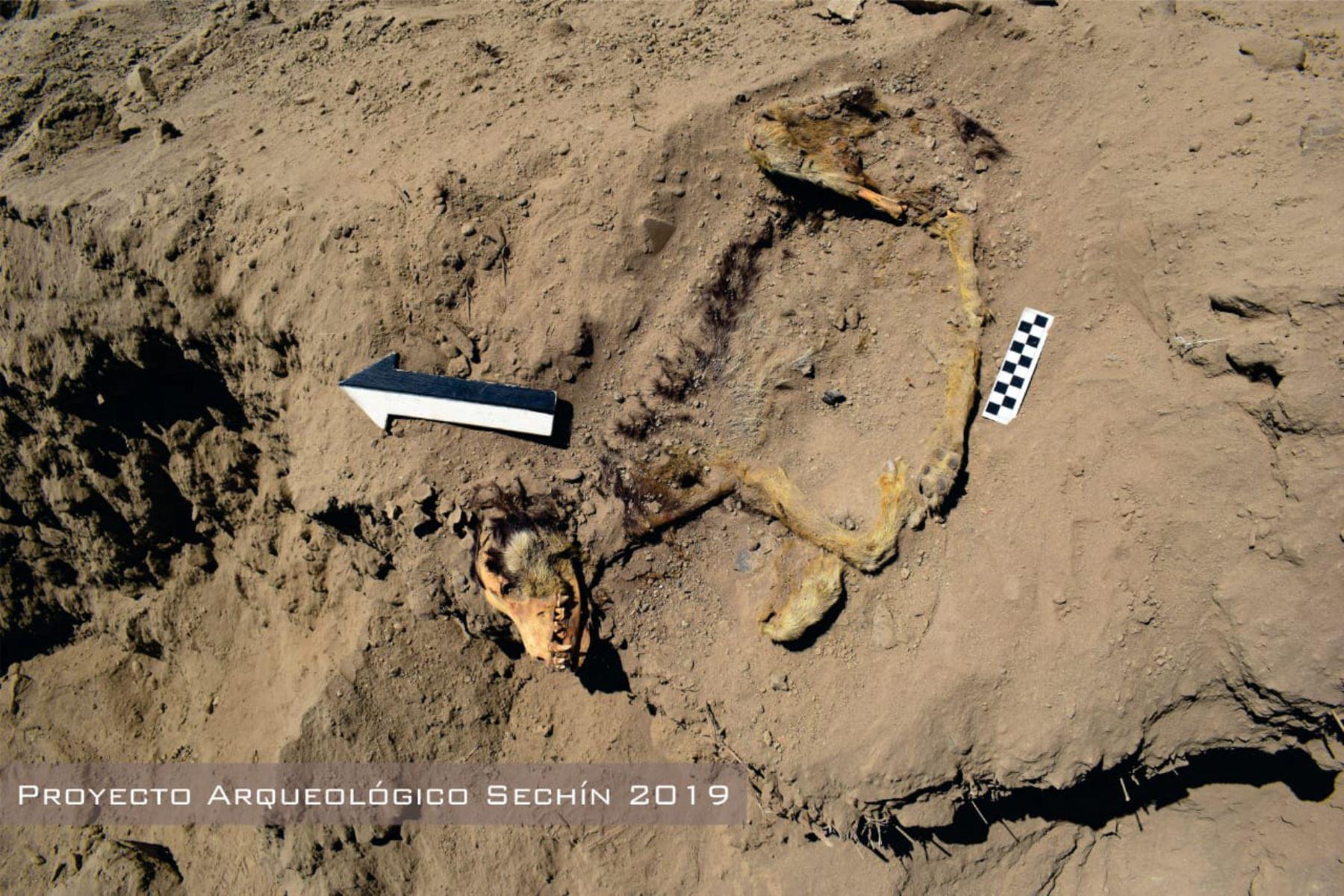 Arqueólogos hallan restos óseos de perro en interior de templo de cultura Sechín, en Áncash.