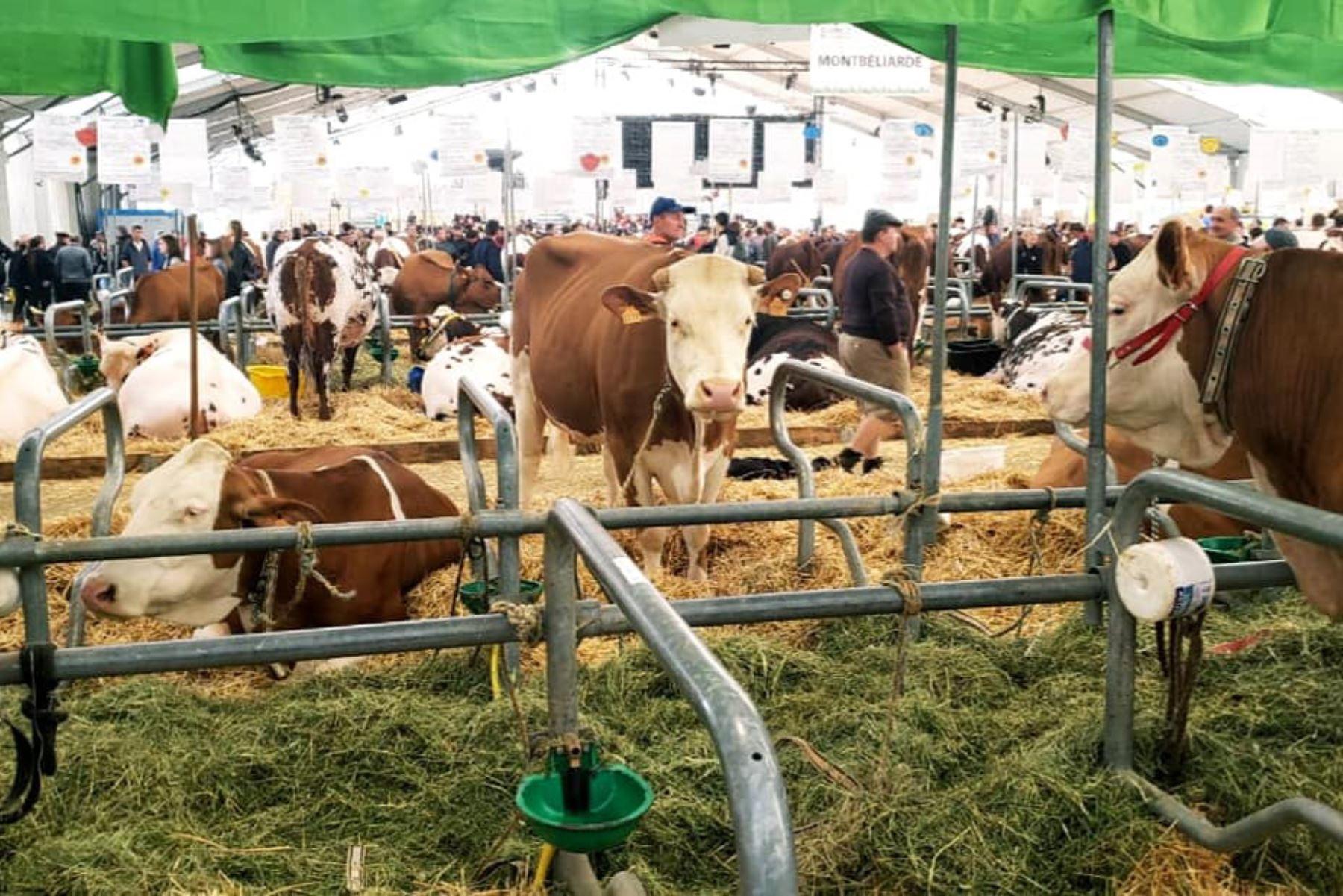 Gobierno regional distribuirá 10,000 embriones mejorados de vacuno a ganaderos de Áncash, anunció su titular Juan Carlos Morillo
