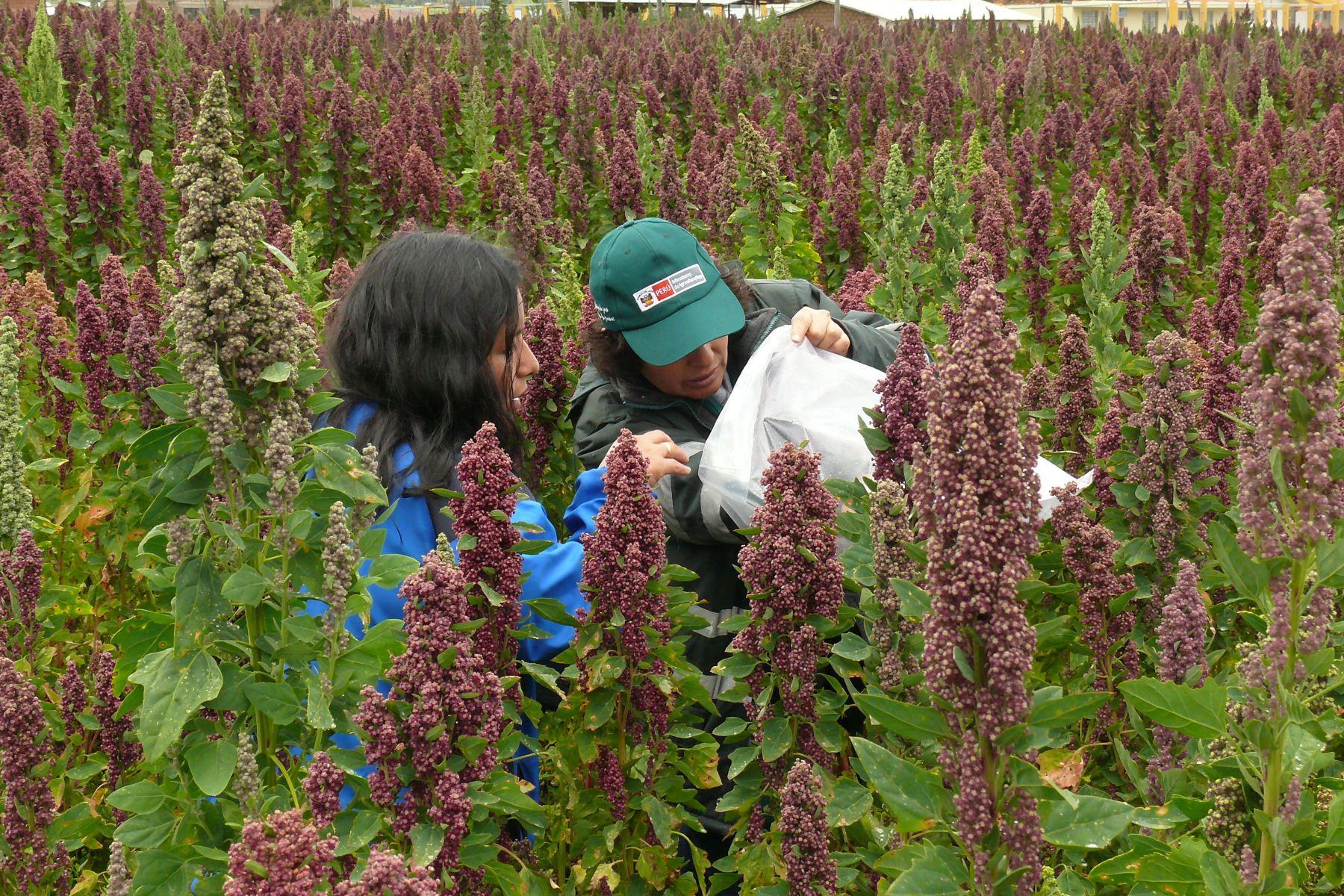 La quinua es uno de los principales cultivos en Ayacucho y es considerado el principal sustento económico para las familias.