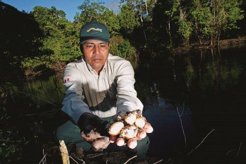 Liberarán más de 6,000 taricayas bebé durante I Festival de tortugas de agua dulce en Loreto.