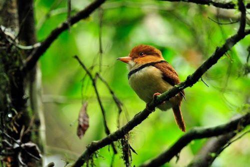 Pucallpa será sede del Primer Festival de Observación de Aves Amazónico