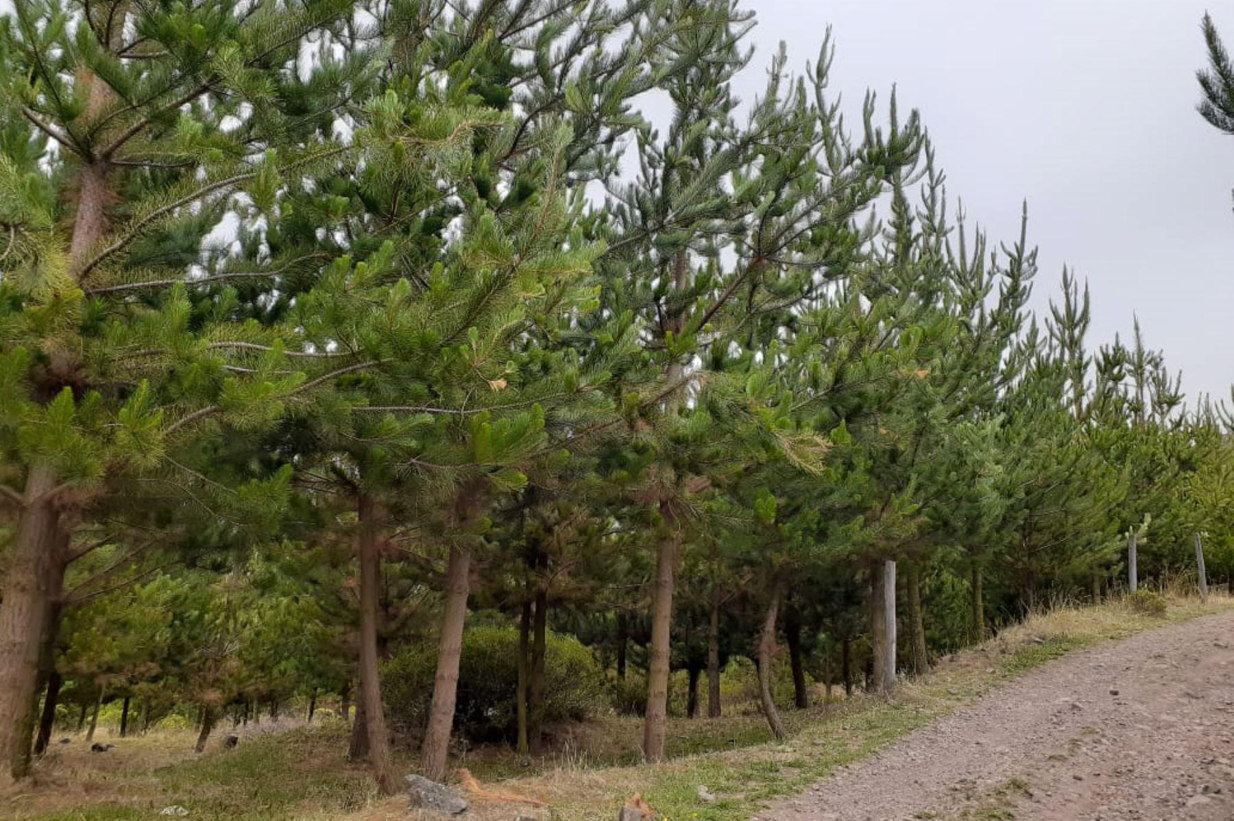 El Ministerio de Agricultura y Riego (Minagri) informó que la instalación de plantones de pino radiata y queñua, ejecutados durante los últimos años por Agro Rural, beneficiará a cerca de 2,500 familias agricultoras que residen en la provincia de Canta.