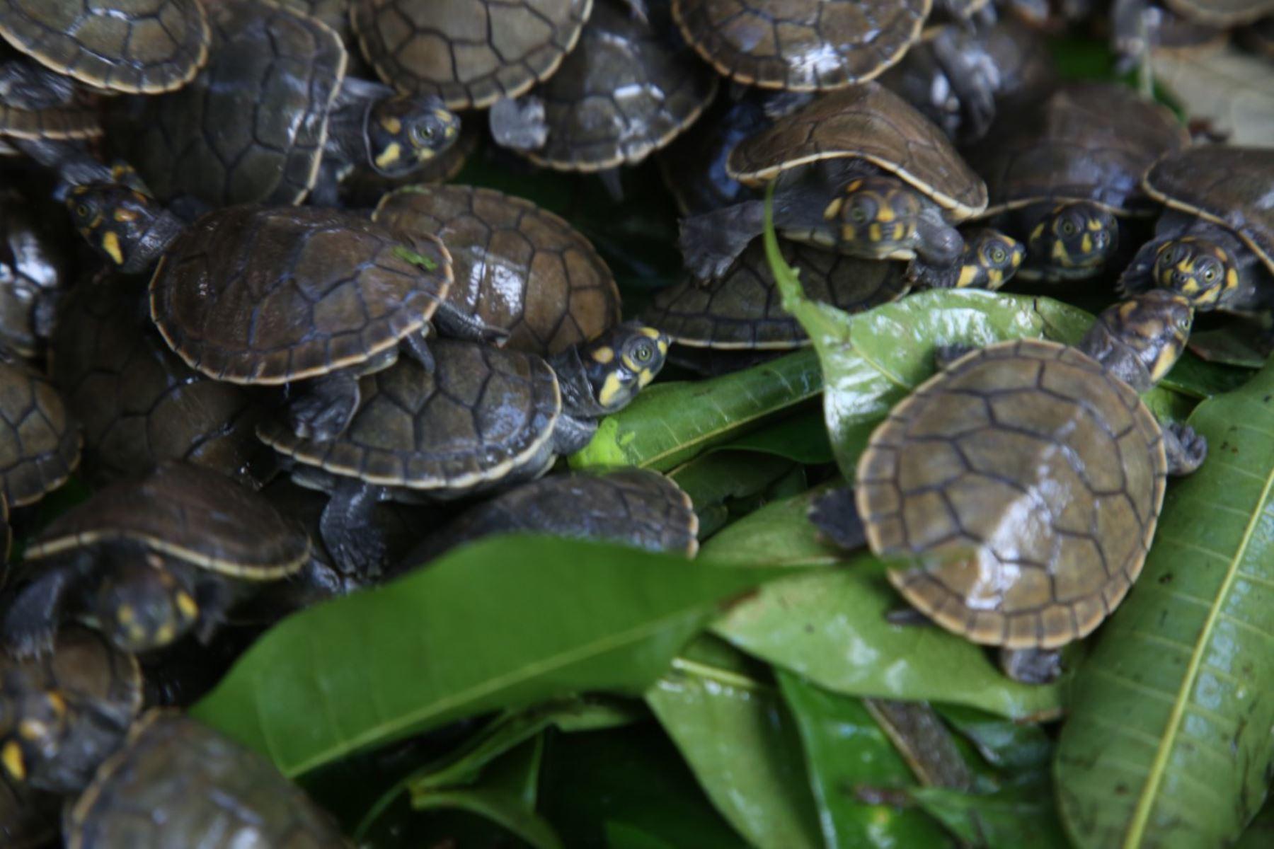 Loreto: liberan 6,000 taricayas durante Primer Festival de Tortugas de Agua Dulce