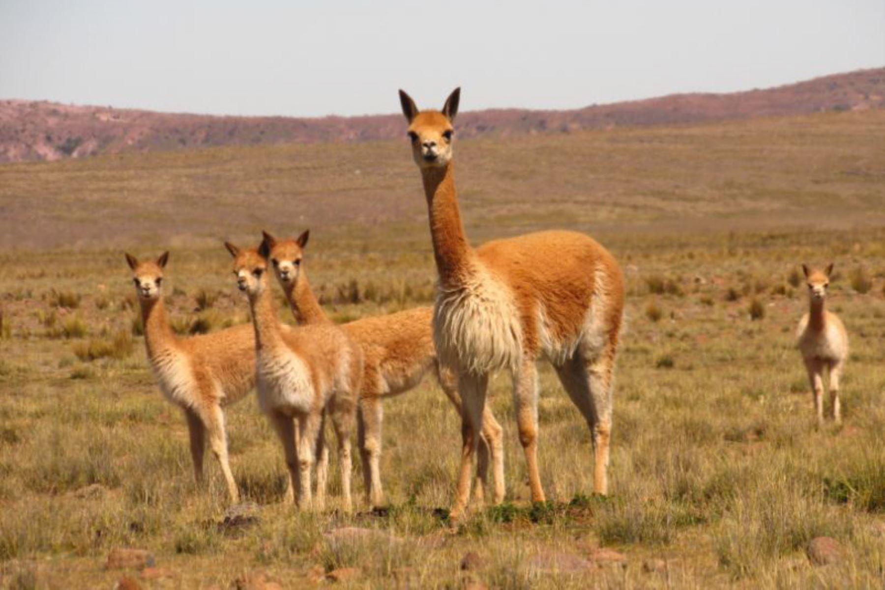 Aprovechamiento sostenible de la vicuña aumenta ingresos económicos de comunidades - Agencia Andina