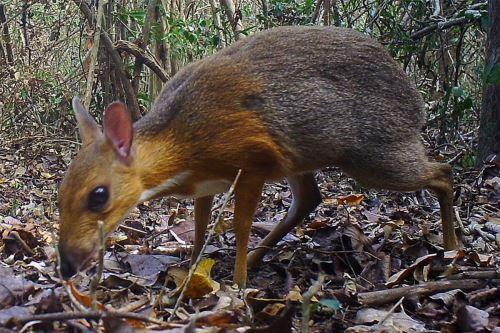 Un ciervo ratón de espalda plateada (Tragulus versicolor) fue fotografiado el 21 de junio de 2018 en Vietnam. Foto: AFP