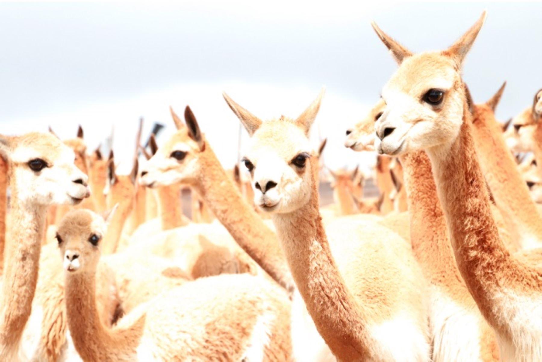 El Serfor, para mejorar la cadena de valor de la fibra de la vicuña a nivel nacional, aprobó el Régimen de promoción para el aprovechamiento sostenible y comercialización de la fibra de camélidos sudamericanos silvestres (Decreto Supremo Nª 014-2014-MINAGRI), que permite la simplificación administrativa para los usuarios.