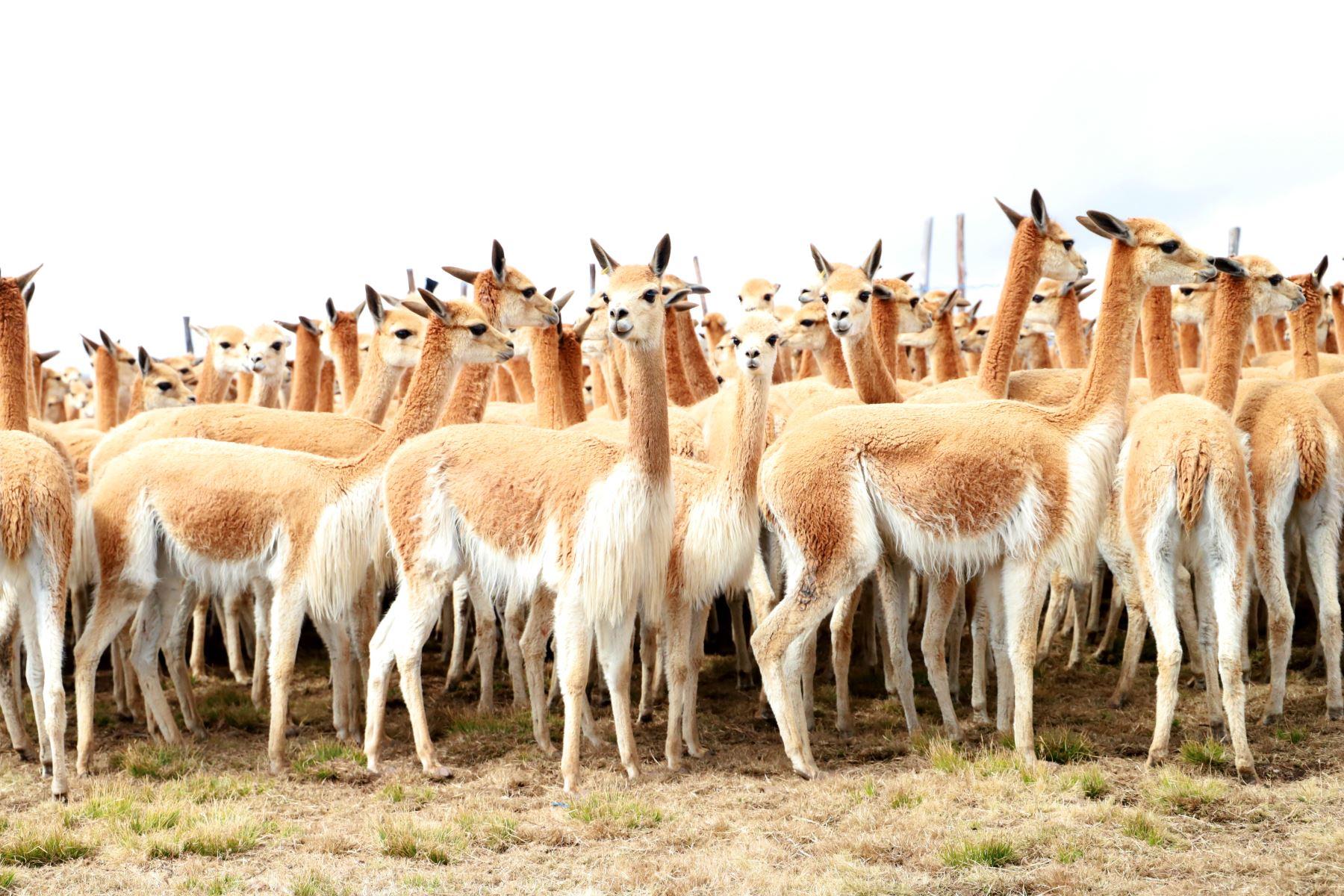El Serfor propuso una hoja de ruta para mejorar el aprovechamiento sostenible de la vicuña en el Perú.