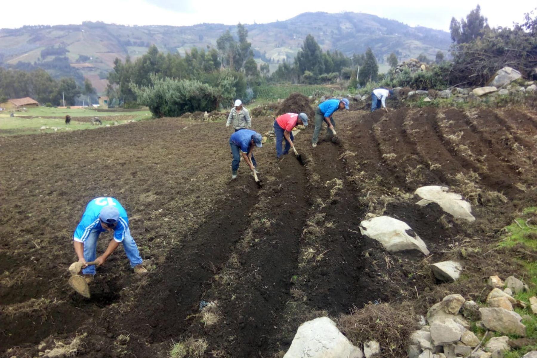 Impulsarán producción de papa en la sierra de La Libertad - Agencia Andina