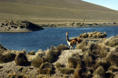 La vicuña es una especie que se encuentra en peligro por la acción de los cazadores furtivos. Foto: ANDINA/difusión.