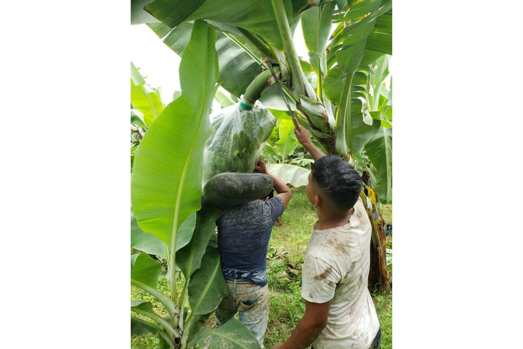 Pequeños productores del caserío Annape del distrito lambayecano de Mórrope producen con éxito banano orgánico. Foto: Cortesía/Silvia Depaz