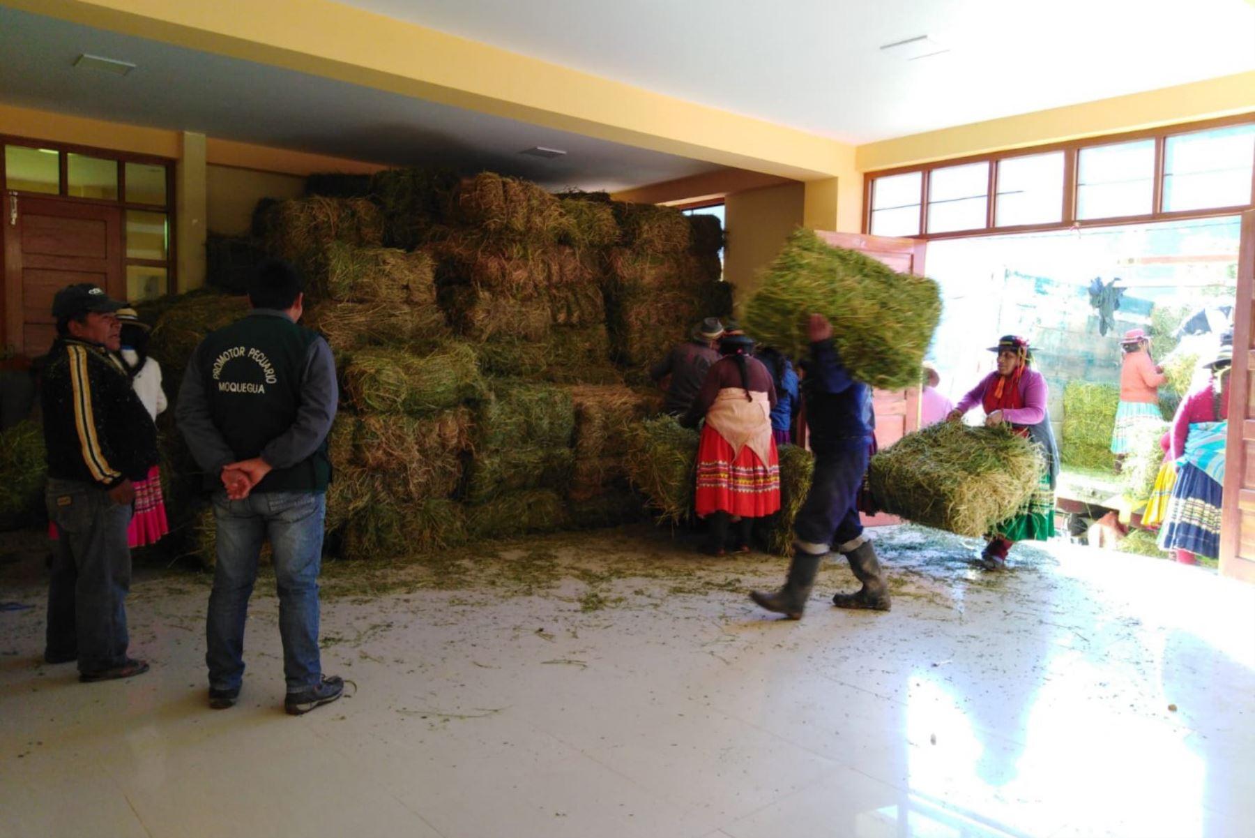 Los ganaderos de los distritos afectados por las explosiones del volcán Ubinas (Moquegua) recibirán 44,000 pacas de heno.