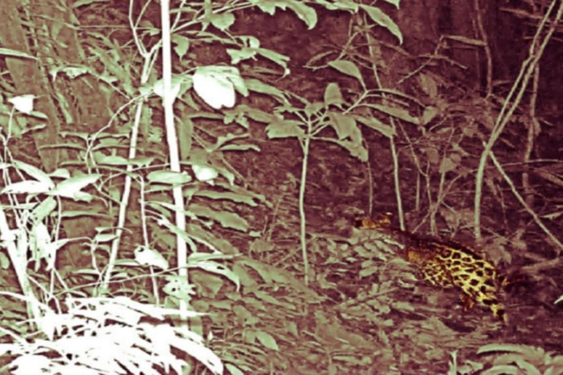Este primer avistamiento del jaguar en el Parque Nacional de tingo María, en Huánuco, se realizó gracias al uso de cámaras trampa que fueron instaladas en el sector Río Oro, como parte del monitoreo biológico de mamíferos mayores que realiza el equipo de guardaparques de esta área natural protegida.