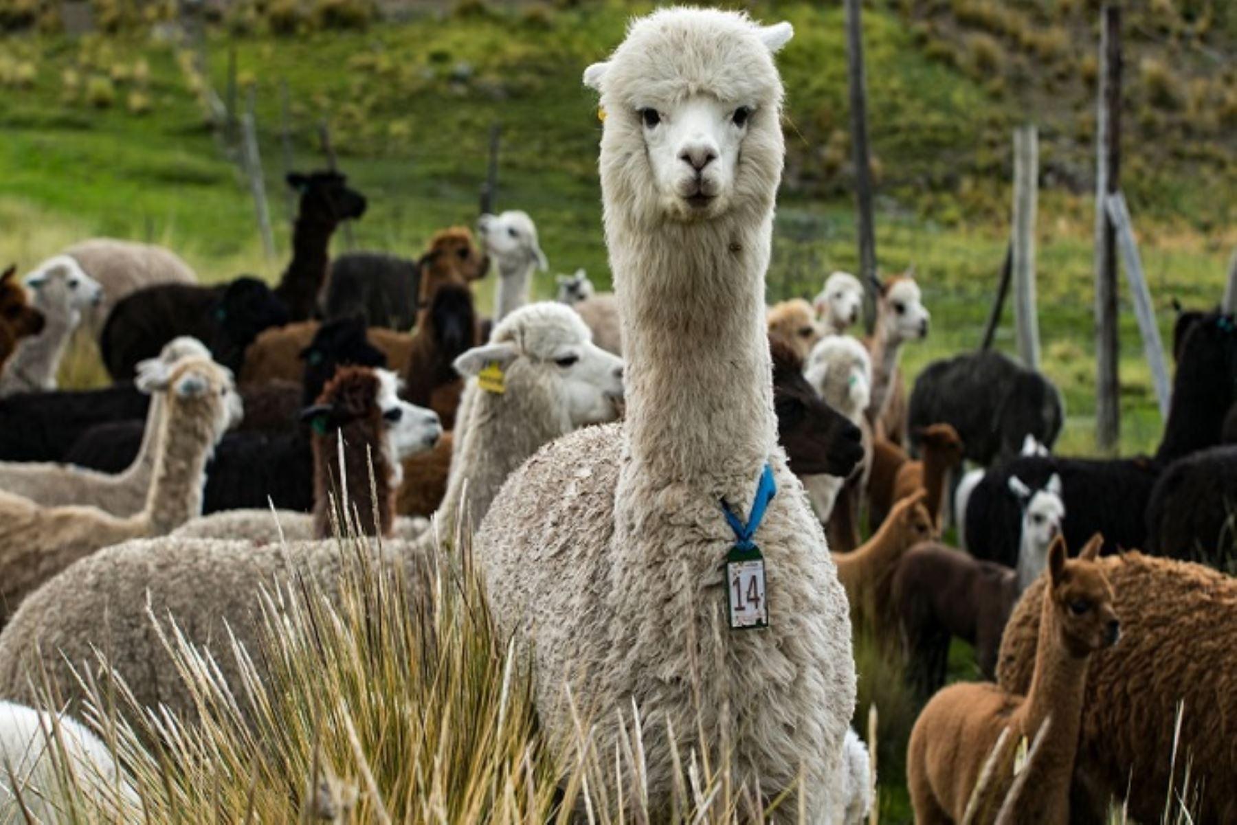 La llama no es el único camélido sudamericano oriundo del Perú cuyos anticuerpos han demostrado una gran efectividad para evitar que el coronavirus SARS-CoV-2 infecte las células. Los otros tres tipos de auquénidos que existen en nuestro país: alpaca, vicuña y guanaco, también poseen esos anticuerpos, destacó el Instituto Nacional de Innovación Agraria (INIA). ANDINA/Difusión