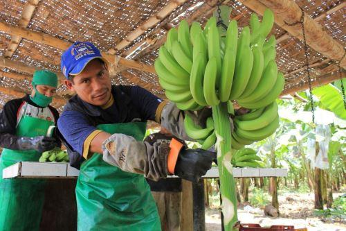 Con el apoyo de científicos internacionales, el Ministerio de Agricultura y Riego (Minagri) inició los estudios científicos para priorizar una agenda de investigación que permita desarrollar tecnologías de prevención y protección del cultivo de banano orgánico ante la posible llegada del letal hongo Fusarium Oxysporium raza 4 tropical. ANDINA/Difusión