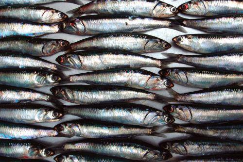 Conoce cómo los científicos del Imarpe determinan el potencial de la anchoveta en el mar de Perú y fijan la cuota de pesca de este recurso. ANDINA/Difusión