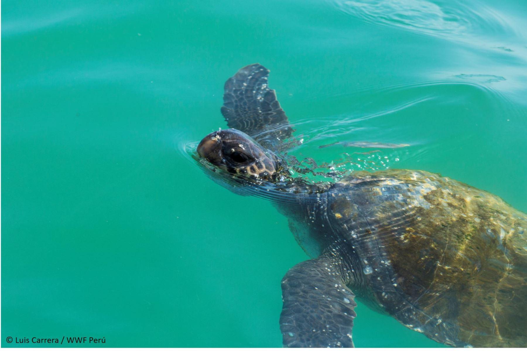 Conoce las acciones que ejecutan el Serfor y otras entidades para proteger y conservar a las tortugas marinas en el Perú. Foto: Serfor