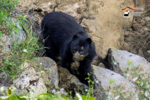 Serfor inició un proceso para sancionar a implicados en muerte de oso andino en Puno en abril pasado. ANDINA/Difusión