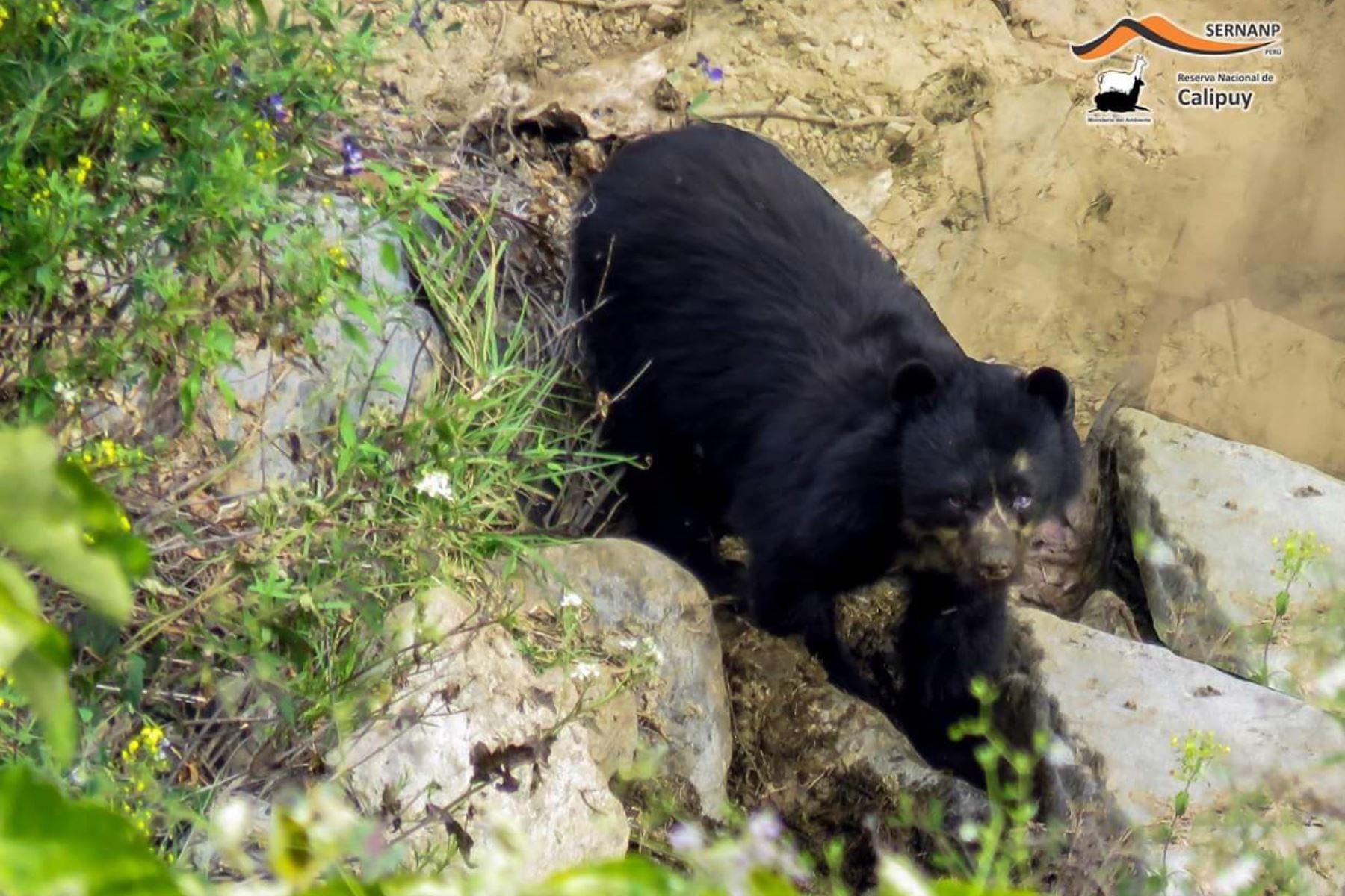 Reportan avistamiento de oso de anteojos en la Reserva Nacional de Calipuy, ubicado en La Libertad. ANDINA/Difusión