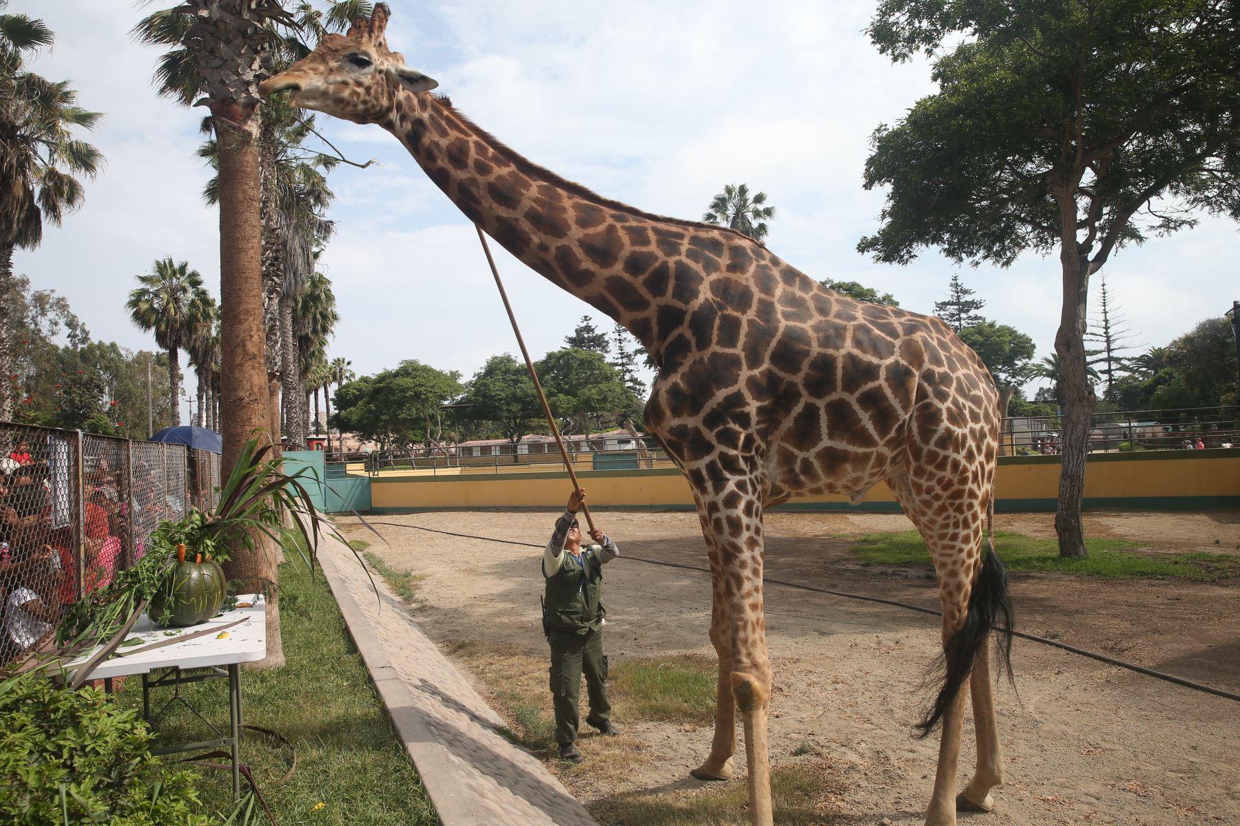 """Municipalidad de Lima, celebra el cumpleaños número 9 de la única jirafa llamado """" Domingo"""" que alberga el Parque de las Leyendas. Foto : ANDINA /Eddy Ramos"""