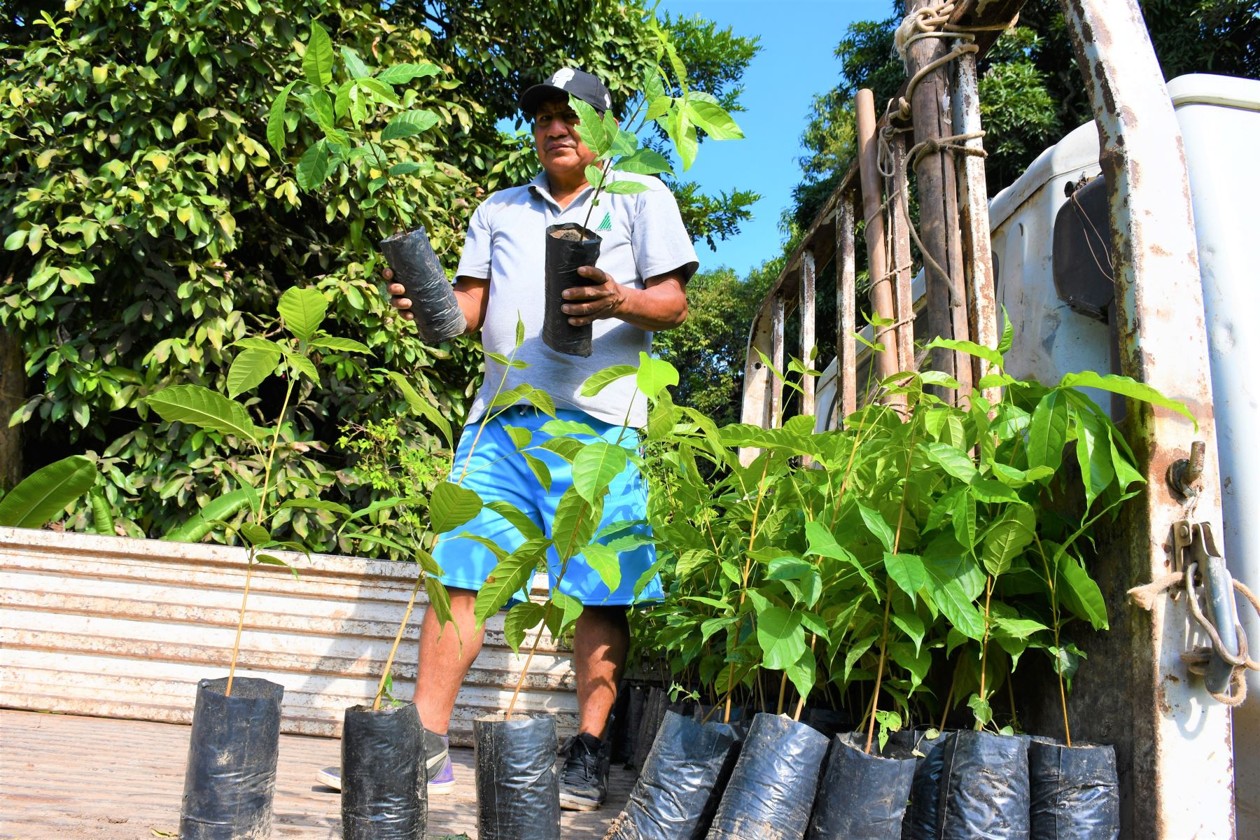 Con siembra de árboles nativos impulsan la reforestación en la región San Martín. ANDINA/Difusión