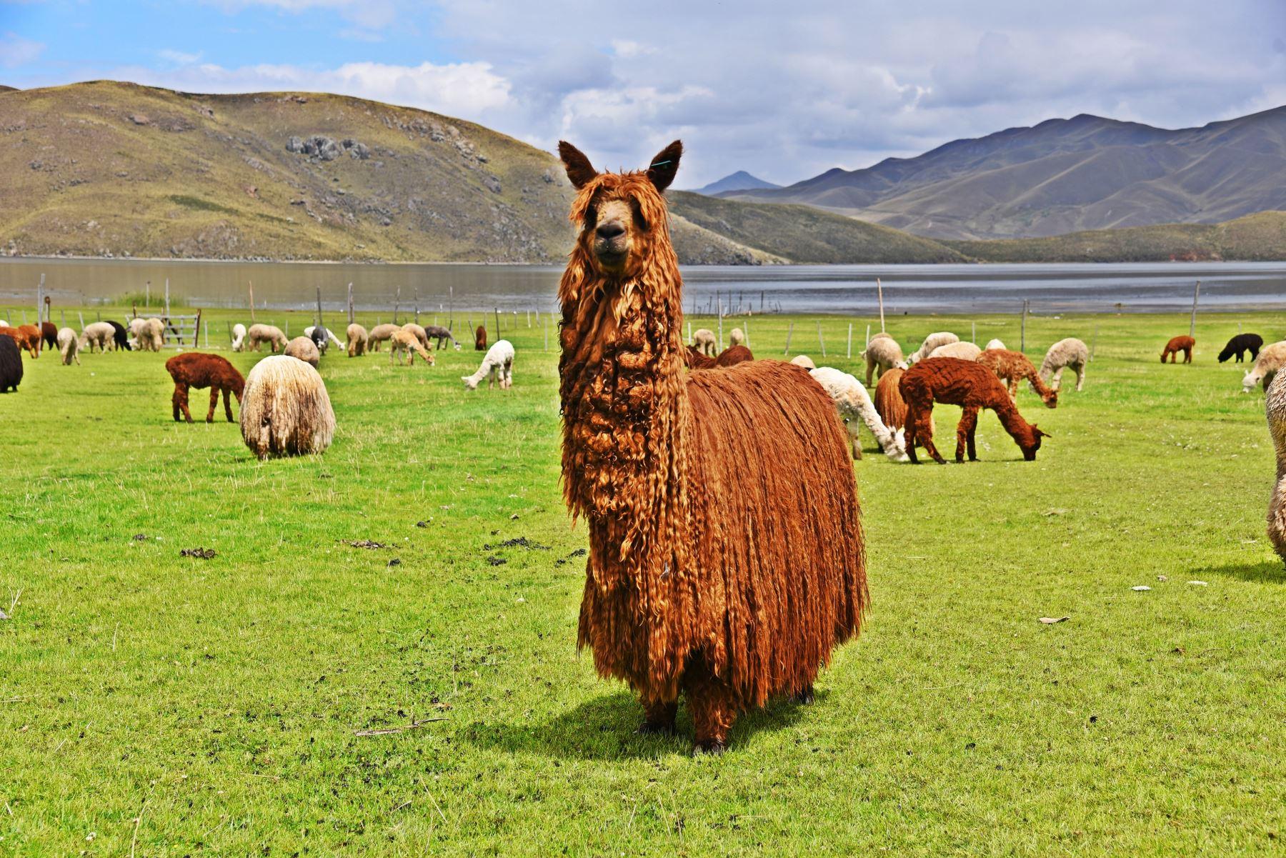 En Puno se ubica la mayor reserva genética de las alpacas de color, una especie que es estudiada por investigadores del INIA. Foto: Juan Humberto Ccopa