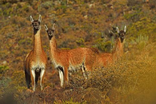 En más de 380 % se recupera la población de guanaco en la Reserva Nacional Calipuy, en La Libertad, destacó el Sernanp. ANDINA/Difusión