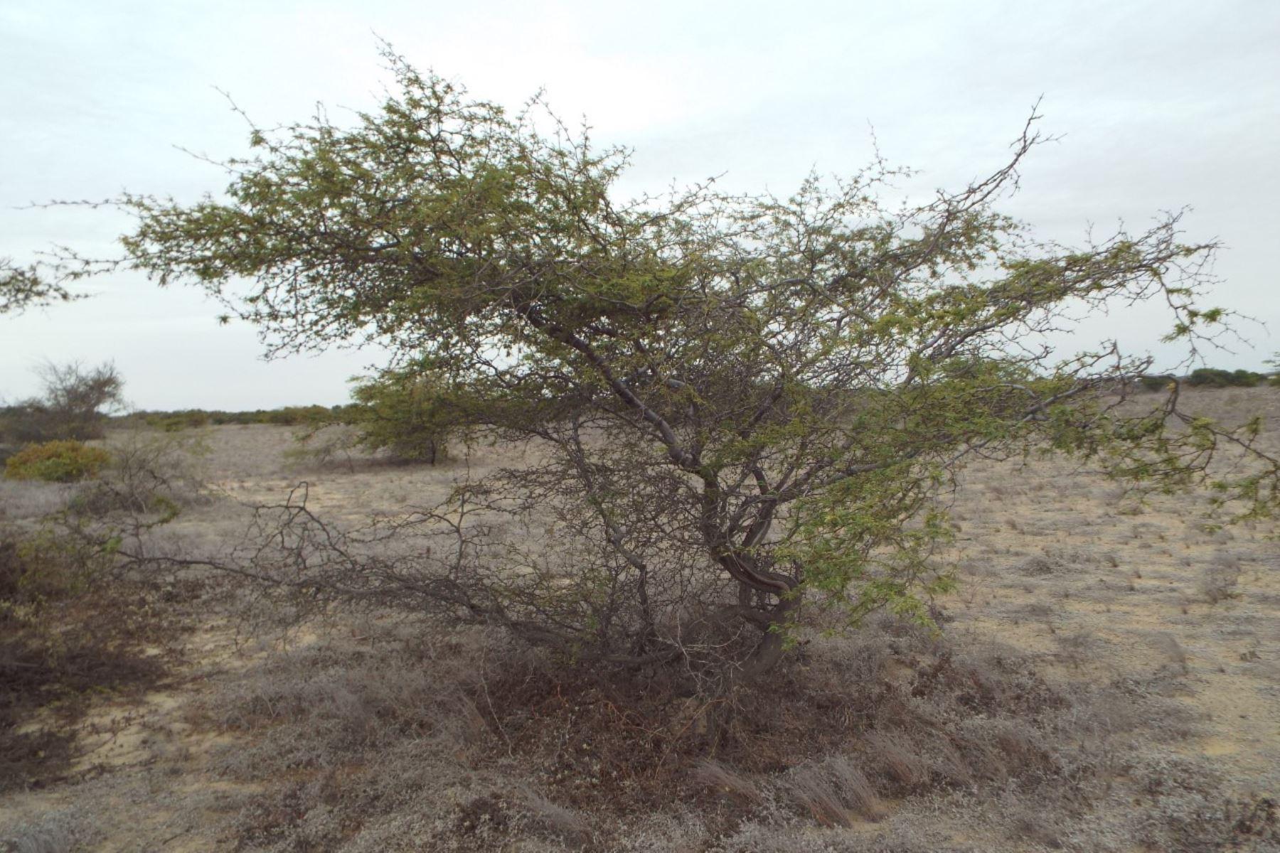Tumbes: crean grupo multisectorial para tratar disminución de algarrobos en la costa norte del Perú