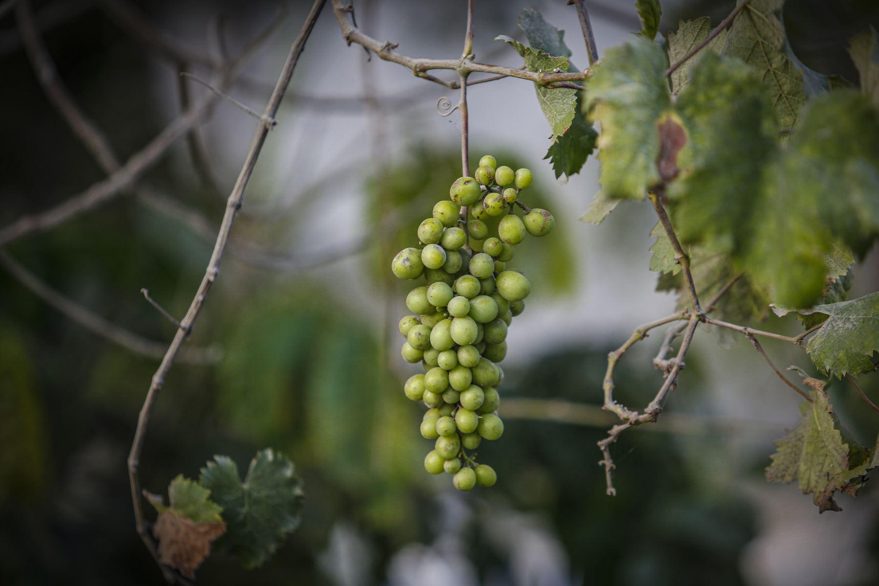 La producción de vino y pisco artesanal es una de las características de la zona . Foto: ANDINA/Renato Pajuelo
