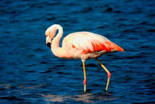 Perú elaborará un censo de flamencos en lagos y humedales andinos, anunció el Serfor. ANDINA/Difusión