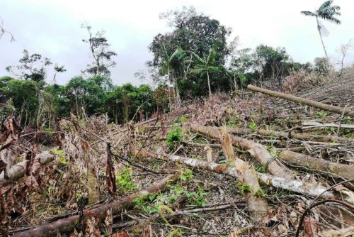 Fiscalía Especializada en Materia Ambiental verifica tala ilegal y construcciones ilegales en el Bosque de Protección Alto Mayo, en San Martín. ANDINA/Difusión